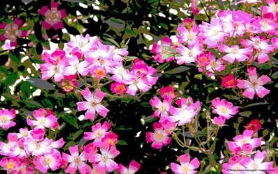 ピンクの花の写真壁紙