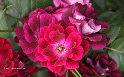 ピンクのバラ写真