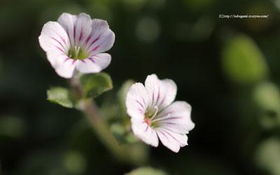 白い花の壁紙