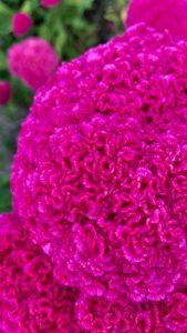 ピンクの花の壁紙 夏のけいとう
