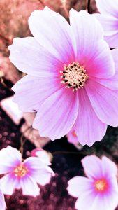 コスモス花の壁紙