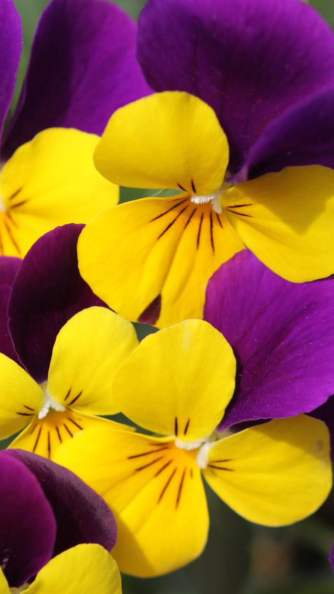 黄色と紫のパンジー写真壁紙 壁紙 無料でダウンロード Pcやスマホ
