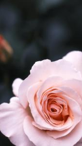 ピンクのバラ壁紙