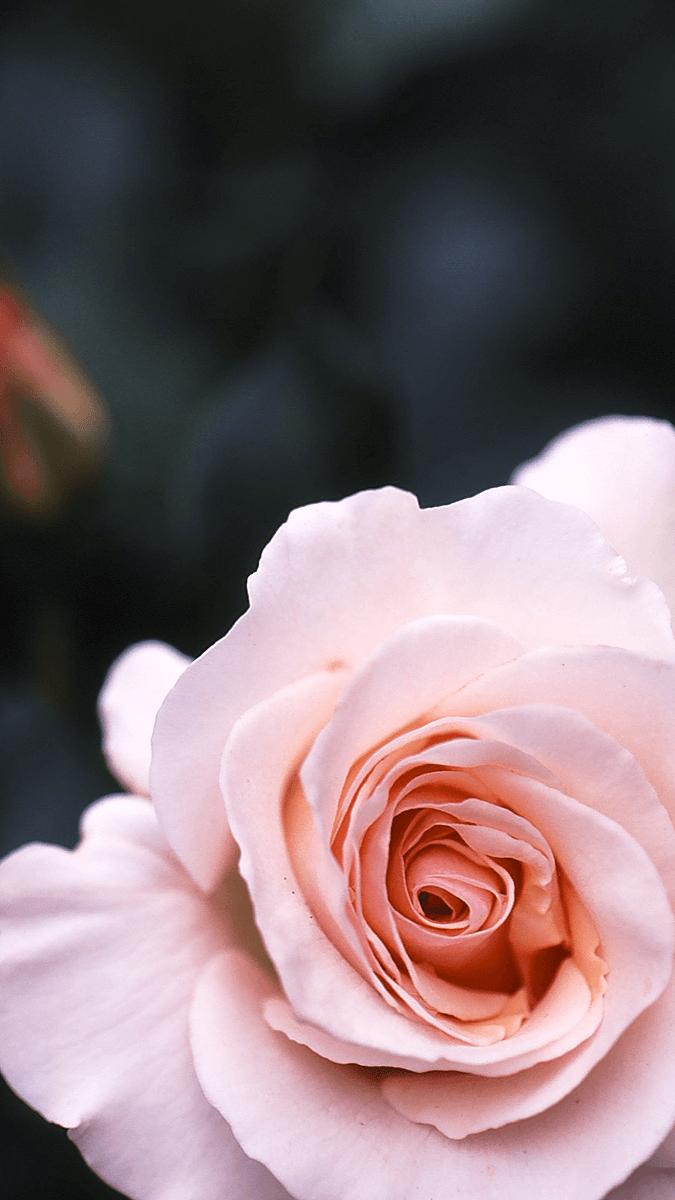 バラの花壁紙 壁紙 無料でダウンロード Pcやスマホ Iphoneの壁紙