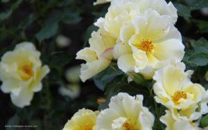 黄色のバラ壁紙