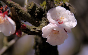 梅の花写真壁紙